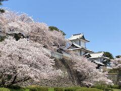 満開の桜 金沢 2021