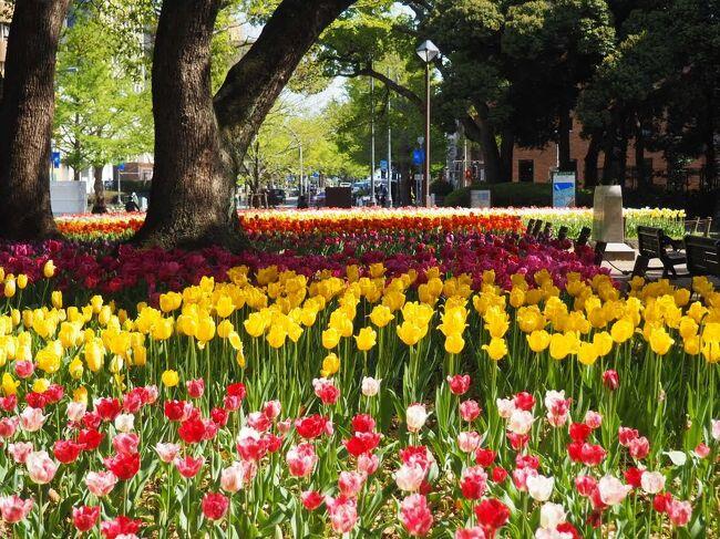 ガーデンネックレス2021YOKOHAMA  チューリップを愛でに横浜公園~日本大通り~山下公園早朝散歩