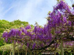 満開の藤の花と和巧絶佳展
