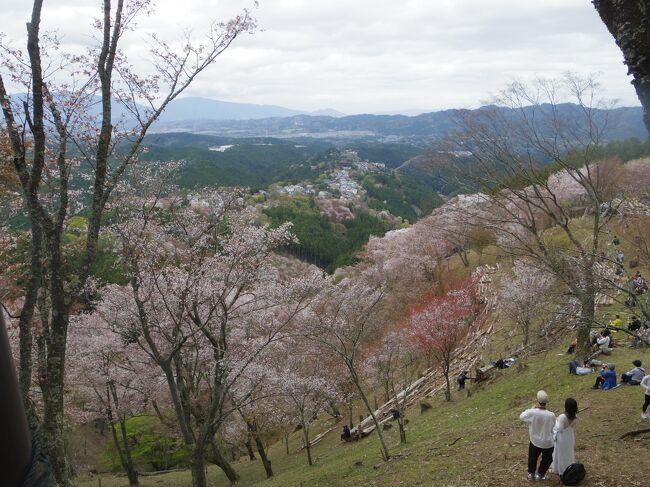 あまりに有名な吉野山の千本桜、昨年行こうと思っていたのに4月に入ると自粛でそれどころではありませんでした。<br />4月になれば仕事が一段落するので、今年は4月2日夜から京都4泊の予定を入れておいたところ、今年は桜の時期が非常に早くなりました。<br />吉野の桜は下から上まで、どこかが満開になっていそうです。<br />4月4日からは天気がくずれる予報だったので4月3日(土)行ってきました。<br />前日、仕事終わってから、そのまま新幹線に乗って京都泊しておいてよかった!<br />