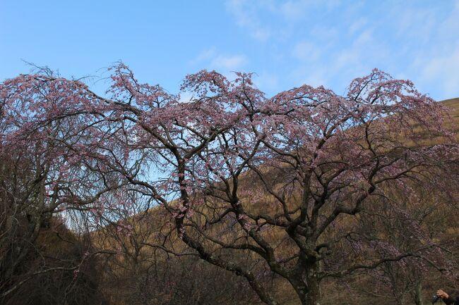 雨の予報の週末だったが、降られる前に天城山(万二郎岳、万三郎岳)に登頂することができ、大室山で桜を見てから熱海で久々に温泉につかる。日曜は雨の中訪れた伊豆山神社を起点に「走り湯」まで階段を往復し、よく歩いた旅行だった。