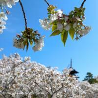 桜 サクラ sakura を追って