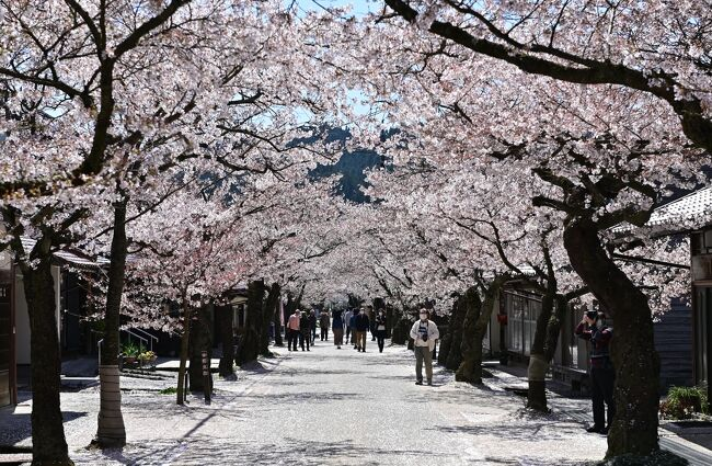 新庄村のがいせん桜。旧出雲街道の宿場町跡の道沿いに植わっている桜並木だ。日露戦争の戦勝を祝って植えられた132本の桜がアーケードのよう。落ち着いた町並みだが、一年のうち桜が咲く期間だけは「がいせん」を連想するような華やかな雰囲気に包まれる。コロナ禍で桜祭りは中止になったが、花は例年と変わらず咲き誇っていた。中山間地から山間地にある真庭・新庄は一カ月間にわたって花見が楽しめる「ひとつきの桜」で知られるが、ロングランの花見を締めくくる散り始めのがいせん桜を満喫した。