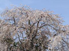 醍醐寺のさくら    2   「霊宝館」