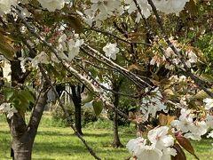 八重桜・サクラ・さくら に出会う旅 2021in 茨城