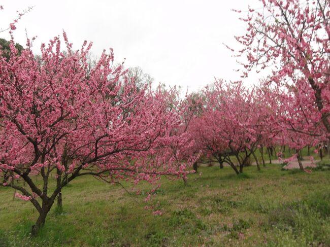 桃が満開と友に誘われ古河の公方公園へ。ついでに桜や菜の花のお花見もと出かけました。