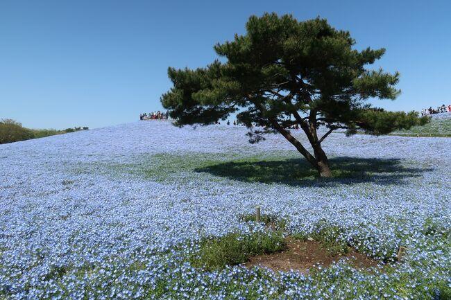 青い花、ネモフィラを見に行こうと思い立ち、飛行機を予約。<br />時期的に青い花は5分咲きかなーと思っていたら、ドンピシャ見頃になって、早朝から花を見に行く予定に切り替えて、1日目は水戸と大洗磯神社を観光。<br />2日目に、海浜公園を堪能するプランに。<br /><br />荒ぶる海と強風の海浜公園を堪能してきました。<br />ネモフィラも良かったけど、チューリップも満開ですごく感動した。<br />花の時期に行くのは良いものですね。
