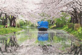 春爛漫の京都・近江桜旅(2)十石舟と桜の風景に酔いしれた伏見