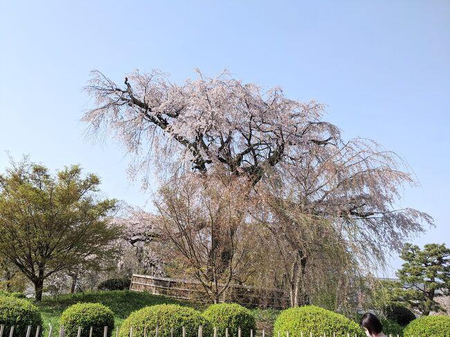 円山公園の桜も観たくなった…<br />きっとこのご時世、感染症の為、桜の下での宴会はしていないだろうから!!<br />円山公園の桜が綺麗でした、初めて見たときは感動して、京都への憧れは大いに爆発したものです。それから子育てをしてて、十年?ぶりにそっと桜を見に来てみたらーーーなんと、公園中の桜の下は、宴会とゴミの山!、<br />興醒めもいいとこ!!ショックでショックで!!こんなんもうこんとこ!っと思ってしまいました。涙!<br />丁度その頃、あの感動した枝垂れ桜も、枯れ果てて涙涙でした!!<br />テレビでも偶然見たのです。円山公園の桜守りの話!!<br />でもでも、今日来てみて良かった^_^<br />枝垂れ桜がこんなにも、綺麗に咲いてました。少しづつでしょうか、蘇るかも\(^o^)/元気になってる\(^o^)/<br />知恩院三門などを見て回って最後に、枝垂れ桜に辿り着く!桜の時期は、何十年ぶり!!来てみて良かったです!?<br />