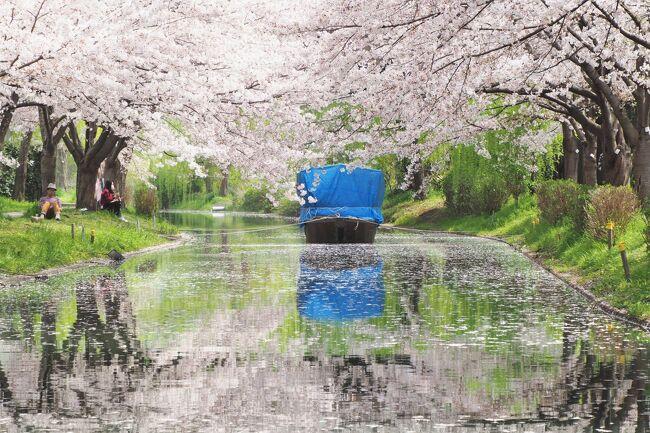 醍醐の桜を見に日帰りした京都。やっぱりもっとゆっくり京都の桜を楽しみたくて、3月末に2泊3日で再訪してきました。今回の主な目的は伏見十石舟、背割堤、滋賀の三井寺と琵琶湖疎水の桜。これまでの京都とはまた違った風景を堪能しました。<br /><br />1日目(3/30)<br />  伏見十石舟、石山寺、琵琶湖疎水、三井寺<br /><br />2日目(3/31)<br />  背割り堤、石清水八幡宮、伏見十石舟、平安神宮、南禅寺、東寺<br /><br />3日目(4/1)<br />  毘沙門堂、三井寺<br /><br />伏見十石舟と三井寺で撮りたい写真があったので2度通うという変則行程。しかも混雑を避けて京都の中心街はほとんど訪れていないので観光の参考にはならないルートですが、桜のキレイ所を集めてみました。<br /><br />まずは伏見の濠川の桜と十石舟<br />ちょうど桜が満開で予想以上の美しさ! ただ初日は思うように写真が撮れなかったので、翌日も行きました。写真は2日間のミックスなので順不同です。