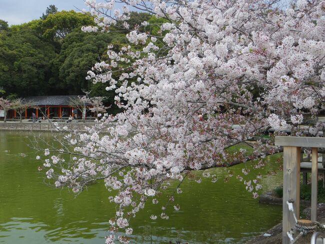 2021年4月 京都と奈良でお花見(3)橿原神宮の桜