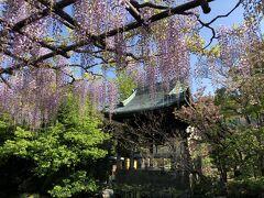 花めぐり 西新井大師の藤と牡丹、根津神社のつつじ
