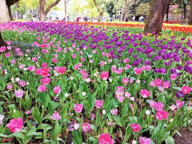 4月12日(月)<br />横浜市は3/27~6/13まで、街を美しい花と緑でネックレスのようにつなぐ『ガーデンネックレス横浜』というイベントを開催中。<br />コロナ禍で開催していないものと思っていましたが、友人からテレビの天気予報で『里山ガーデンフェスタ』が映し出されていて調べてみたよと、lineでお誘いあり。<br />交通が便利で、長い距離を散歩するには、みなとエリアが良いねと、即返信。<br />まずは、関内駅南口で待ち合わせ。<br />横浜公園のチューリップ、中華街でランチ、山下公園、日本大通りのお花を見ながら、横浜市の新庁舎まで歩いてみるのはどうかな。<br />ちょこっと野毛で昼呑みもって、盛りだくさんの計画。<br /><br />歩いた距離は、グーグルのタイムラインによると、約3.7km。<br />え~っ(゜o゜;<br />12,000歩以上歩いたのに、そんなわけないよ~<br />公園内をぐるっとしたり、中華街でもアチコチ狭い道に入ったり戻ったりしたので、この1.5倍は歩いたはず。<br /><br />