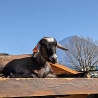 富士山麓で動物まみれの家族忘年会(2/2 まかいの牧場を満喫編)