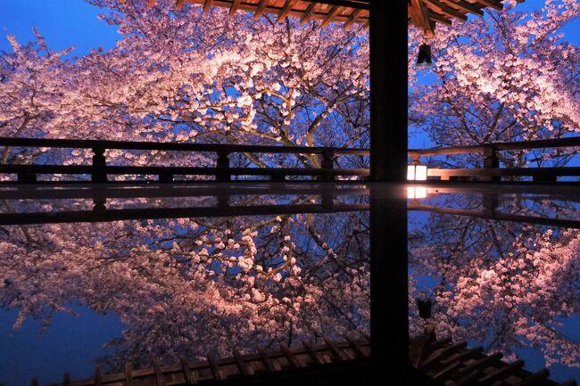 春爛漫の京都・近江桜旅(3)ついに滋賀県へ 石山寺と三井寺の桜