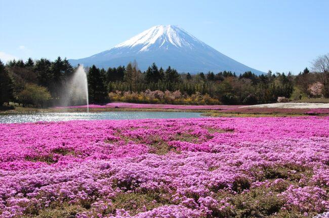 芝桜と富士山を見に、富士本栖湖リゾートの芝桜まつりへ出かけてきました。<br />朝8時半に芝桜まつり会場に到着し、芝桜と富士山を眺めた後は、山中湖近くの花の都公園で、春の花々と富士山を写真に収めて帰ってきました。<br />