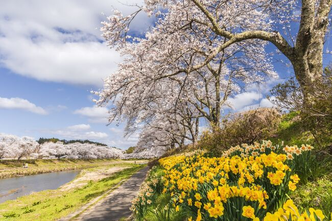 陽気が春めいてくると桜の開花が気になるのは毎年のこと。昨年は緊急事態宣言で桜シーズンを棒に振っただけに、今年はより一層力が入る。狙いは一昨年初めて訪れた、福島県阿武隈高原を南北に貫く国道349号線沿線に点在する桜の名所巡りだ。前回の経験を基にインターネットで情報収集。効率良く一筆書きで回れるよう地図と睨めっこしプランを組み立てたが、果たしてどうなることやら。大いなる期待を胸に写友4人で福島へ向かった。<br /> 今回の旅行記も写真が多くなるので、前編(1日目)と後編(2日目)に分けてお届けする。<br /> なお、1日目に回った桜の名所は次のとおり。<br />◇小野IC⇒⇒①夏井千本桜(小野町)⇒⇒②弁天桜(田村市)⇒⇒③永泉寺のサクラ(田村市)⇒⇒④是哉寺地蔵桜(田村市)⇒⇒⑤小沢の桜(田村市)⇒⇒⑥お伊勢様の鐙摺石ザクラ(田村市)⇒⇒⑦東円寺の桜(田村市)⇒⇒⑧強梨の桜並木(田村市)⇒⇒⑨松岳寺しだれ桜(田村市)⇒⇒⑩蛇盛塚のしだれ桜(田村市)⇒⇒⑪合戦場のしだれ桜(二本松市)⇒⇒⑫福田寺の糸桜(二本松市)⇒⇒⑬上石の不動ザクラ(郡山市)