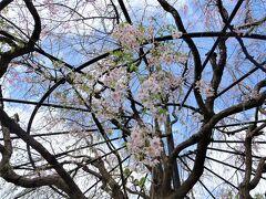2021年4月 京都と奈良でお花見(6)退蔵院の桜~妙心寺(大心院、桂春院)