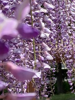 ☆*:.。. o藤の香りに包まれるo .。.:*☆   須賀の園より