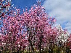 にゅうぜんフラワーロードのチューリップと魚津天神山ガーデンのハナモモ