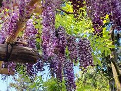 春日大社の境内にある万葉植物園の藤が満開