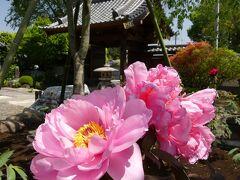 「恩林寺」のボタン_2021_咲き始めました。綺麗です。(群馬県・邑楽町)