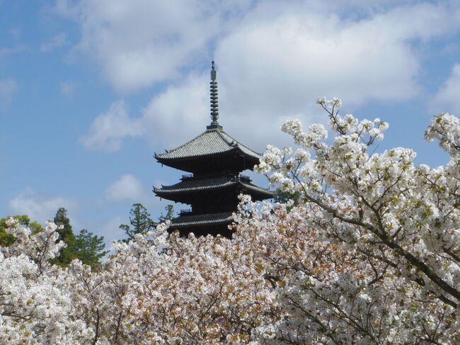 仁和寺の御室桜の例年の見ごろは4月上旬~中旬と、少し遅めです。ですが例年より桜の開花が早かった今年は、4月5日に満開の御室桜を見ることができました。御室桜、こんなに本数があるなんて知らなかった。<br />仁和寺から竜安寺、金閣寺も近いので、ついでだから久々に行ってみましょう。<br />金閣寺から最初に来たバスに乗って、どこへ行こうと地図見てたら銀閣寺に着いてしまいました。<br />予定外の金・銀 制覇です。