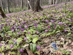 2021.4 北海道もようやく春~!…カタクリ・エゾエンゴサク咲く、妖精のすみかへ