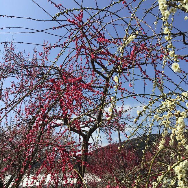 近くの越生町に太田道灌の史跡を訪ね、久しぶりに梅林にも寄った。