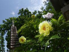 「恩林寺」のボタン_2021(2)_今年は花が少ないようです(群馬県・邑楽町)