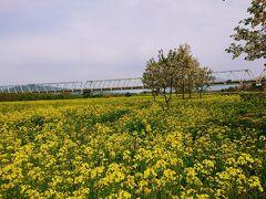 千曲川ふれあい公園の八重桜と菜の花