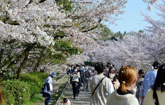 満開のサクラを見に、京都市内に出掛ける。<br />この日は天候にも恵まれて、最高の1日でした。<br />バス1日券(600円)を利用して、京都市内を巡る。<br />この旅行記は、前半の哲学の道・円山公園・インクラインのサクラの様子です。<br /><br />・哲学の道<br /> 銀閣寺と南禅寺(正確には、若王子神社)の間を結ぶ、約2kmに渡る散歩道。20世紀初期の哲学者である京都大学教授 西田幾太郎(きたろう)が、毎朝この道を歩いて思想に耽っていたことにちなんで名付けられた。脇を流れる運河は、日本最大の湖である琵琶湖から引かれた疎水である。付近を流れる白川は標高に従って北から南へ向かって流れる一方で、人工的に作られた疎水は南から北へ流れている。桜の名所としても有名であり、道沿いには日本画家 橋本関雪によって寄贈された関雪桜が並んでいる【京都観光Naviより】<br /><br />・八坂神社<br /> 古くから「祇園さん」と呼ばれ親しまれている八坂神社は、全国の祇園社の総本社。創祀は、斉明天皇2年(656)とされている。京の都に大流行した疫病を鎮めたといわれ、以来、厄除けの社として信仰を集めている。現在でもこの社で執り行われている7月の祇園祭や大晦日のをけら詣りは有名。特にをけら詣りはをけら火を吉兆縄に移して、くるくる回しながら家に持ち帰り、その浄火を火種にしてお雑煮を食べると無病息災が叶うといわれている 【京都府観光ガイドより】<br /><br />・円山公園<br /> 1886年(明治19)開設の市最古の公園。八坂神社の東、東山を背に約86,600㎡あり、回遊式日本庭園を中心に、料亭や茶店が散在、四季を問わず風情がある。京都随一の桜の名所で、花見時の'祇園の夜桜'は一見の価値あり【京都観光Naviより】<br /><br />・インクライン<br /> 明治23年(1890)に引かれた琵琶湖疏水は大津と京都を結ぶ舟運ルートとしても利用された。しかし、蹴上と岡崎とではあまりにも標高差があったため、坂道にレールを敷き、台車に舟ごと乗せてこの間を運んだ。これが長さ600mあまりのインクラインで、現在はそのレール、台車、舟、滑車が復元保存されている。また、桜の名所としても名高い【京都府観光ガイドより】<br /><br />・哲学の道についてはこちら<br />    https://tetsugakunomichi.jp/  <br />   <br />・八坂神社についてはこちら   <br />    http://www.yasaka-jinja.or.jp/<br /><br />・円山公園についてはこちら<br />    https://kyoto-maruyama-park.jp/