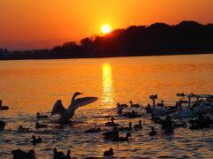 多々良沼に飛来した鳥を見に行き、白鳥がグループごとに飛び立つ姿に感動!