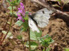 2021森のさんぽ道で見られた蝶⑩ツマキチョウ、ツマグロヒョウモン、ルリタテハ、テングチョウ等