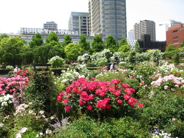 JR桜木町駅から赤レンガ倉庫、山下公園を経由して港の見える丘公園の薔薇散策に出かけました。