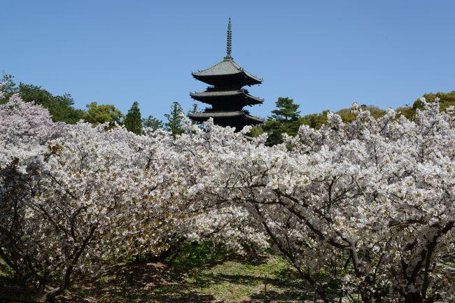 「日本のさくら名所100選の地」を訪ねて、今回、仁和寺に出掛ける。<br />その後、近くの原谷苑へ。<br />バス1日券(600円)を利用しての花巡りです。<br /><br />原谷苑へは仁和寺前のタクシー乗り場より、タクシーにて(料金=1020円)。<br />帰りは、京都市バス利用で、京都駅へ。<br /><br />・仁和寺<br /> 宇多天皇が仁和4年(888)に創建、後に出家し、僧坊である御室を営み、後に地名となった。江戸時代に建立された二王門(重文)は京の三大門のひとつ。境内には金堂(国宝)、五重塔(重文)があり、御殿は、宸殿、黒書院、白書院からなる御所風建築で平安王朝文化の薫りが漂う。茶室の遼廊亭(りょうかくてい)・飛濤亭(ひとうてい)は重文。裏山には御室八十八カ所の小祠もある。遅咲きの御室桜も有名【京都府観光ガイドより】<br /><br />・御室桜について <br />遅咲きで、背丈の低い桜です。近年までは桜の下に硬い岩盤があるため、根を地中深くのばせないので背丈が低くなったと言われていましたが、現在の調査で岩盤ではなく粘土質の土壌であることが解りました。ただ、粘土質であっても土中に酸素や栄養分が少なく、桜が根をのばせない要因の一つにはなっているようです。あながち今までの通説が間違いと言う訳ではなさそうです。詳しくは現在も調査中です【仁和寺御室桜の特徴より】<br /><br />・原谷苑<br /> 約1万2千㎡の苑内に梅、椿、もみじなど様々な樹木が植樹されており、中でも20数種類の桜が約1ヶ月の間咲き続け、雪柳、木瓜、つつじ、山吹、しだれ桃などが花をそえます。特に八重紅しだれ桜の開花が始まると、苑全体が紅色に染まり、また満開になると淡いピンク色に変わっていく様は幻想的です【京都府観光ガイドより】<br /><br />・仁和寺/御室花まつり 特別入山料 500円<br /><br />・原谷苑 入苑料 1,500円 <br />   <変動制>桜の開花状況により、変動<br /><br />・仁和寺についてはこちら<br />    https://ninnaji.jp/   <br /><br />・原谷苑についてはこちら<br />    http://www.haradanien.com/