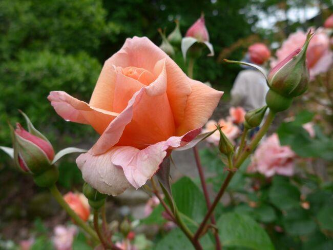 大神ファームの薔薇は地元のメディアでもベスト1に選ばれるほど沢山の種類の薔薇の花が薔薇園一杯に咲き誇っています。<br />今年も「Rose festa 2021」がスタートし早速、見に行ってきました。<br />多くの薔薇ファンが園内には沢山訪れ観賞していました。<br />コメントは一緒です、薔薇の写真を見てください。というかコメントできないくらいとても綺麗でした!!