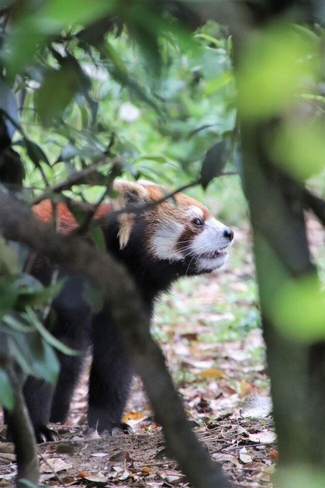 2021年のゴールデンウィークの埼玉こども動物自然公園(略して「埼玉ズー」)は人数制限をかけるため入園予約制となりました。<br />であれば、逆にいつものゴールデンウィークよりも空くわけです。<br />と思ったので、このゴールデンウィーク、休日勤務の予定がなくなったこともあり、一週間前の予約開始時から予約を取りました!<br />開園時間はいつもの9時30分から17時のところ、9時から18時に拡大されていて、その利点は、睡眠時間が長くて起きている姿がなかなか見られないコアラの方に当てましたが、本日、東園では、クオッカも見に行けなかったこともあり、ほぼコアラで占められました。<br /><br />前編の旅行記はこちら。<br />「花と春雷のGWの埼玉こども動物自然公園(東園)朝昼夕ともコアラ三昧でピリーくんふくちゃんたっぷり!~ナマケモノのノンちゃんウォークを独り占め」<br />https://4travel.jp/travelogue/11692163<br /><br />今回のゴールデンウィーク中、クオッカの観覧時館は10時~12時と15時から16時になっていました。<br />午前の時間帯は見に行こうと思ったときに雷雨に見舞われたので、あきらめました。<br />なのでいったん北園でレッサーパンダに会いに行ってからも東園に戻ろうと思いました。<br /><br />ところがレッサーパンダ展示場に到着したのはやっと15時。<br />しかも、待望のレッサーパンダ姉妹のみやびちゃんとりんちゃんの屋外展示の日!!<br />レッサーパンダの展示はたぶん3パターンくらいの日替わりだと思うのですが、レッサーパンダの体調や天候といった外的条件もあるはずなので、私はそのシフトの予想はあきらめてしまいました。<br />それにシフトに合わせて来園日を調整できると限らないので、結局、どの子にも会いたいのは変わらないので、その日、行ってみてのお楽しみでいいやと。<br />なのでせっかく屋外みやびちゃんの日で、みやびちゃんとりんちゃんの同居の日に、30分足らずで離席して、クオッカのところまで移動するのはもったいない!<br />それにこれからどんどん気温が高くなれば、屋外にいるレッサーパンダが見られなくなります。<br /><br />というわけで、久しぶりのみやびちゃんとりんちゃんが屋外で過ごす姿をたっぷり味わいました。<br />ちょうど地元のレッサーパンダ・ファンさんも午後から来ていたので、彼女も強いて言うならみやびちゃんファンということで気が合うので、ちょこちょことみやびちゃんの可愛いところの感想を言い合いながら見入るのも楽しかったです!<br /><br />りんちゃんは妹だけど気が強い子です。<br />そしてみやびちゃんとりんちゃんには姉妹の意識はないはずで、みやびちゃんにとってりんちゃんは年下のヤンキー(!?)みたいなものでしょう。<br />みやびちゃんびいき、いや、りんちゃんファンも愛しさを込めて、白顔のりんちゃんのことを、こっそり(?)「白鬼ちゃん」と呼んでいたりします。<br />だけど、みやびちゃんも案外負けていないのです。<br />りんちゃんは正々堂々と(?)みやびちゃんににらみをきかせ、ちょっかいかけるけれど、みやびちゃんは時々ですが。りんちゃんが油断をしているときに後ろからアタックすることがあるのです。<br />可愛ければ袈裟まで可愛いってやつでしょうか。<br />でも少なくとも、一方的にやられているだけで、たくましさがないのは心配ですし、レッサーパンダはもともと単体生活の動物なので、同居によりストレスを貯める一方ではかわいそうですが、みやびちゃんがそうではなさそうなので、ほっとしているというわけです。<br /><br />今回は、みやびちゃんが一人で楽しそうにはしゃいでいるところを何度か見かけました。急にぴょんぴょん飛びはねたり、るんたった歩きをしたり、灌木に飛びついたりしていました。私が見ていなかった時間帯では枝運びもしていたようです。<br />そしてりんちゃんは案外そんな時にみやびちゃんちょっかいをかけていました。<br />りんちゃんがみやびちゃんを追いかけっこしているところも何度かみかけましたが、みやびちゃんから誘うように走り始めたように見えたときもありました。<br />もしかしたらりんちゃんは、みやびちゃんと遊びたいだけかもしれないと思うようになりました。<br />少なくとも本日私が見られた絡みは全然本気ではなく、姉妹ともにだいぶ余裕が見えたので、そうかもしれません。<br /><br />今回はワオキツネザルの赤ちゃんも目当てした。<br />ここのところ北園と東園の往復