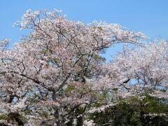 2021年4月 山口県・山陽小野田市 若山公園に花見 2回目