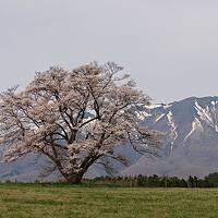 桜と青森・秋田・岩手の秘湯巡り2021年4月③岩手 小岩井農場一本桜と鉛温泉