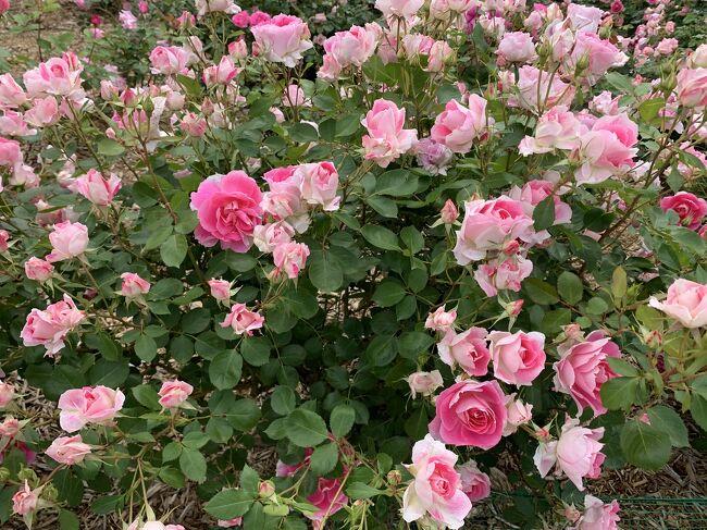 バラが見頃だときいたので訪れたら、ポピーとヤグルマギクも見頃でした。ピークは過ぎていましたが、ネモフィラもまだ咲いていました。