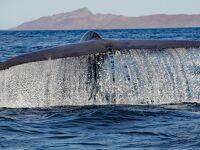 シロナガスクジラ: バハ・カリフォルニアのロレート沖でウォッチング