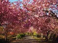 あっと言う間に天平の丘公園の八重桜も見頃になったので行ってきました
