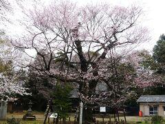 「長柄神社」のエドヒガンザクラ_2021_3月25日には、開花が進んでいました。(群馬県・邑楽町)