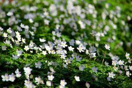 ◆春の白き妖精~白河・天狗山のニリンソウ群落