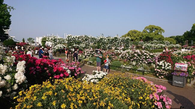 5月上旬の『横浜ローズウィーク』の時期に、山下公園と、主に「未来のバラ園」を巡りました。<br /><br />山下公園のばらを十分に堪能。<br />昼も素敵ですが、日の入り頃の公園のライトアップも見ごたえあり。<br />途中、元町でカフェ休憩。<br />また、山下公園までの行き帰りでの、マリンウォーク、赤レンガ倉庫、臨港パーク、女神橋、横浜港の景色も最高でした。<br /><br />この日のスケジュールは次のとおりです。<br />15:10 臨港パーク<br />15:30 マリンウォーク<br />15:45 山下プロムナード<br />15:50~16:20 山下公園<br />16:35~17:30 カフェ休憩<br />18:10 山下公園<br />18:30 山下プロムナード<br />18:40 赤レンガ倉庫・マリンウォーク<br />18:50 女神橋<br />19:00 臨港パーク<br />