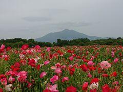 筑波山とポピー&薔薇(小貝川ふれあい公園といばらきフラワーパーク)