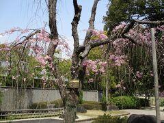 20年ぶりに鵜の森公園の満開の桜を見てきました。泗翠庵でお抹茶を美味しかったです(2021年)