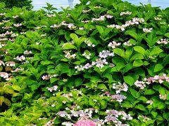 下町紫陽花探訪 お花と一緒に仰ぐ スカイツリー