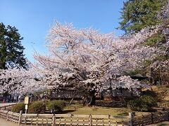 観桜の東北. 大人の休日倶楽部パスで行く《弘前》《盛岡》《角館》2021